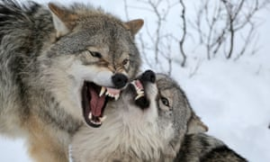 Wolf fight in polar park Norway