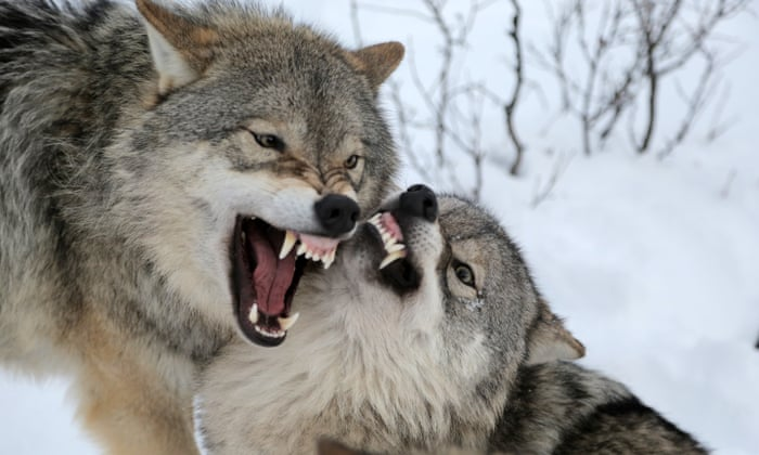 In the company of wolves: animal encounters in Narvik