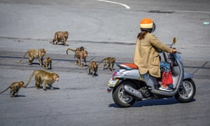 Longtail macaques chase a woman on a scooter in the town of Lopburi, north of Bangkok, Thailand.
