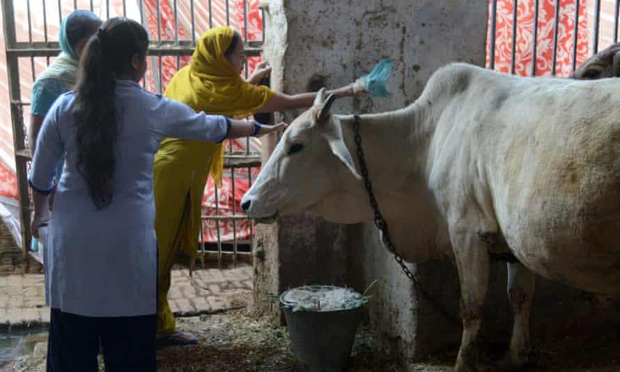 Gai puja, or cow worship, in Amritsar, India