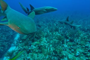 Nurse sharks at the Hol Chan marine reserve off Ambergris Caye, Belize