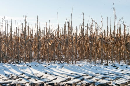 Unharvested corn stands in the snow in Langdon, Mo.