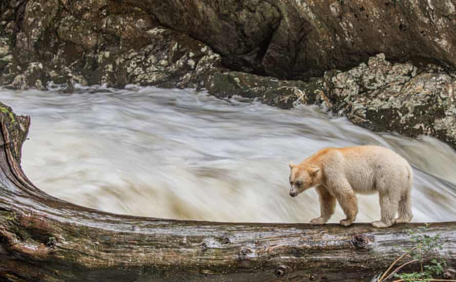 Giving First Nations more control over conservation could help ensure the bears' future.