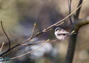 A long-tailed tit (Aegithalos caudatus) on branch. A mild winter has led to a rise in their numbers in Britain, an RSPB survey has found.