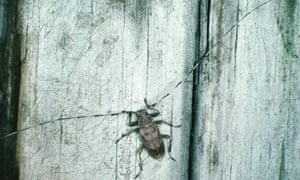 Common timberman beetle (Acanthocinus aedilis).