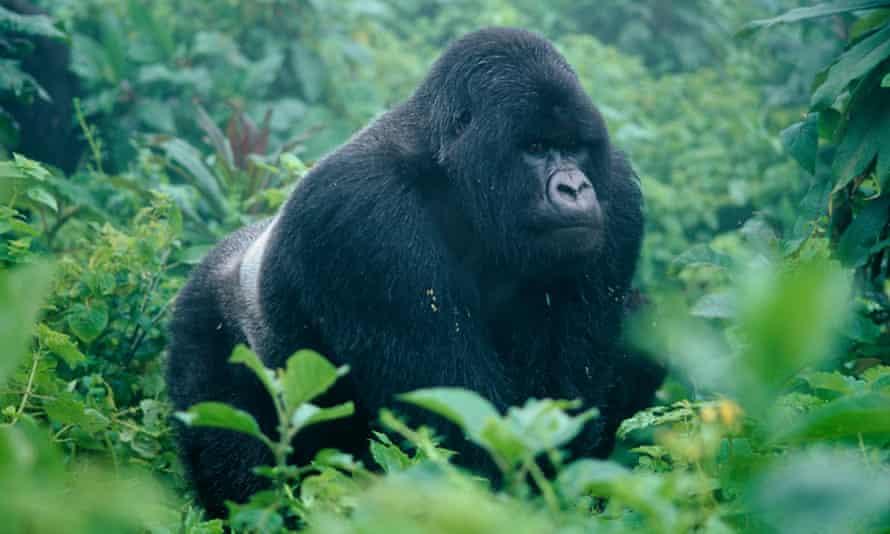 Guhonda, a silverback mountain gorilla in the Volcanoes National park, Rwanda.