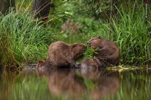 Two European beavers