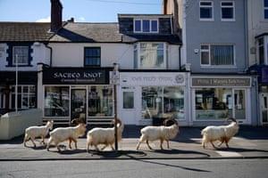 Mountain goats roam the streets of LLandudno, Wales