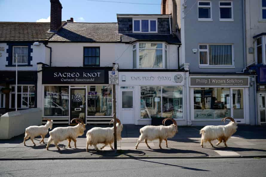 Goats were seen roaming towns in Wales as the coronavirus lockdown emptied the streets.