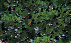 Red-winged blackbirds fly over the second fairway during a practice round prior to the Masters at Augusta National golf club in Augusta, Georgia.