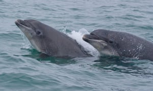 Wild Bottlenose dolphins in Wales