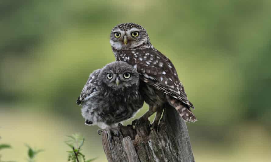 Little owls at Knepp