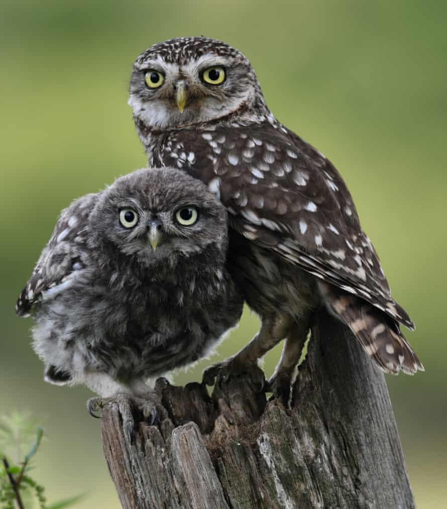 little owl pair