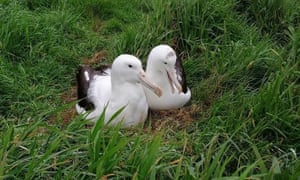 Rob the unappealing albatross, left, with his mate at a breeding colony in New Zealand.