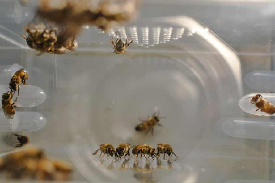 Bees in a rearing cage