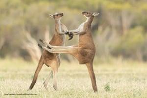 Western grey kangaroos in Perth, Australia