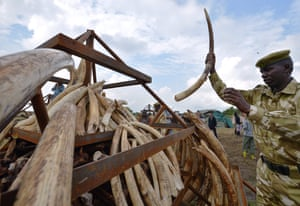 Rangers pile up elephant ivory on to a pyre