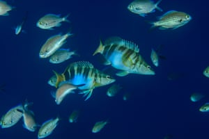 Painted combers and damselfish