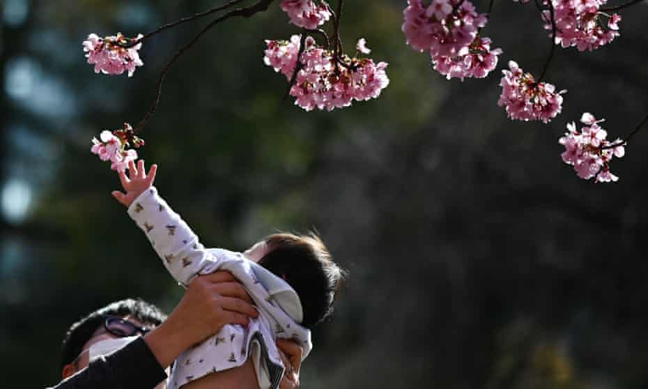 A man holding his baby up to touch the cherry blossom in Tokyo