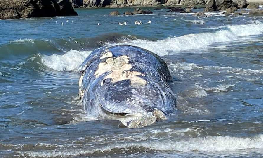 An adult female gray whale lies dead at Muir Beach near San Francisco on 8 April.