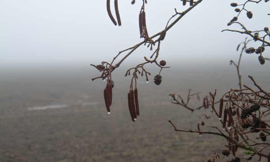 Alder cones and catkins in freezing fog.