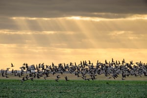 Dark-bellied brent geese (Branta bernicla) take flight on Wallasea Island, Essex