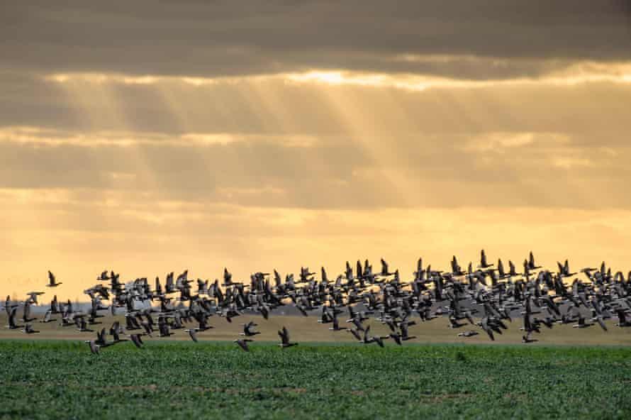Dark-bellied brent geese (Branta bernicla) take flight on Wallasea Island, Essex