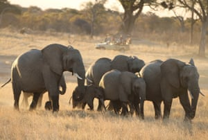 Elephants stroll through Hwange national park.