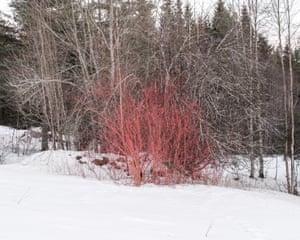 Red bush at Lindalstorpet farm. Grue Finnskog 2016