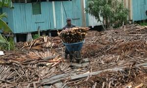 CorpoCampo Palm heart production, Columbia
