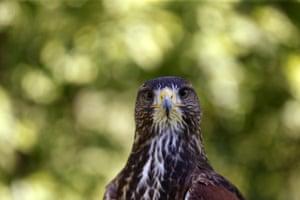 A falcon stands in a falcon farm