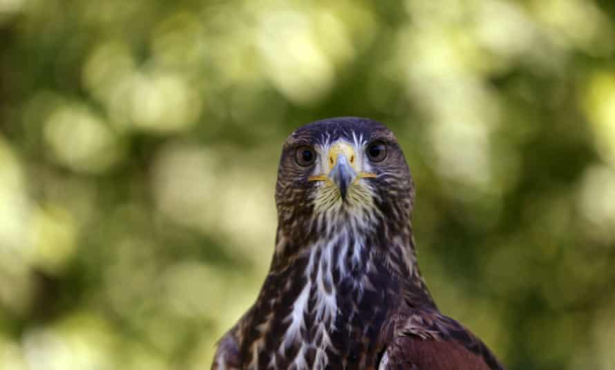 A falcon.