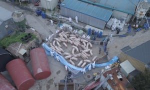 An aerial photo shows workers collecting pigs for culling at a farm in Paju in South Korea.