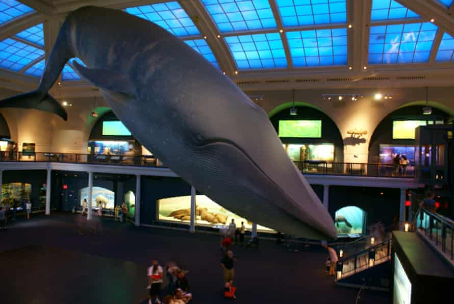 Blue Whale at the American Museum of Natural History