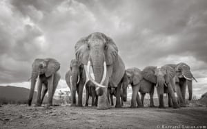An elephant matriarch with her family, photographed with BeetleCam