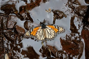 A Monarch butterfly at the El Rosario sanctuary in Mexico