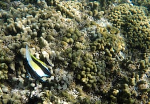 A fish swims over coral in Hawaii''s Kaneohe Bay