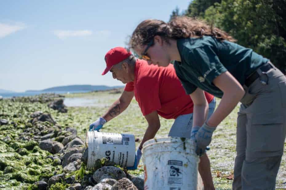 Teams work to restore a clam garden.