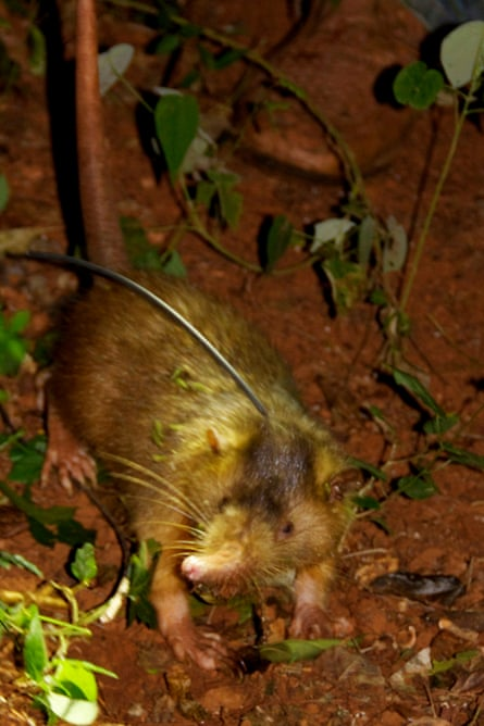 A female Hispaniola solenodon with a radio collar attached so researchers could track its movements.