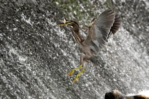 A striated heron catches a fish on the Wangsuk stream in Gyeonggi province, South Korea