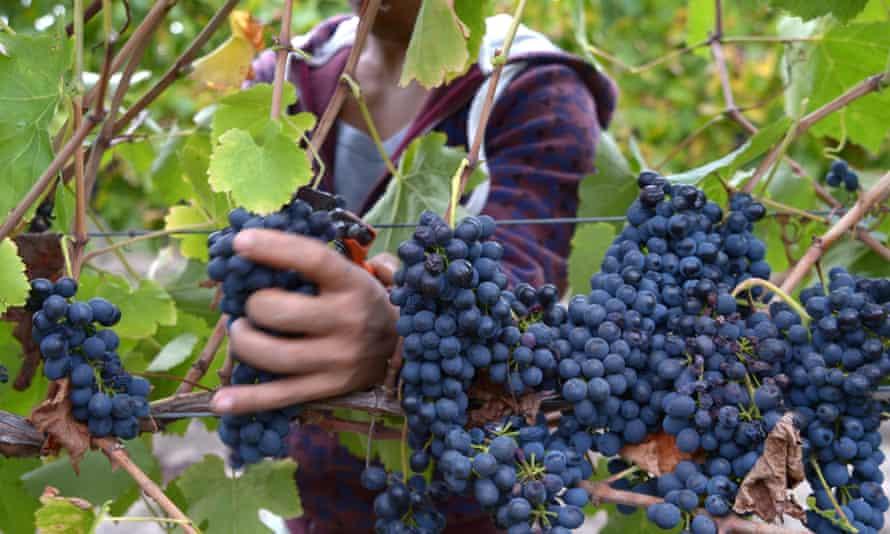 grape picking Australia