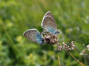 A mating pair of large blue butterflies on Rodborough Common, Gloucestershire. The globally endangered large blue butterfly has been reintroduced to this Cotswolds' site to halt its decline