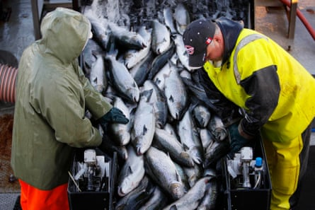 Farm-raised Atlantic salmon being harvested near Eastport, Maine.