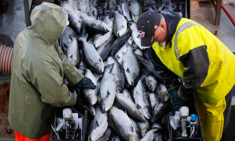 Farm-raised Atlantic salmon are brought aboard a harvesting boat near Eastport, Maine.