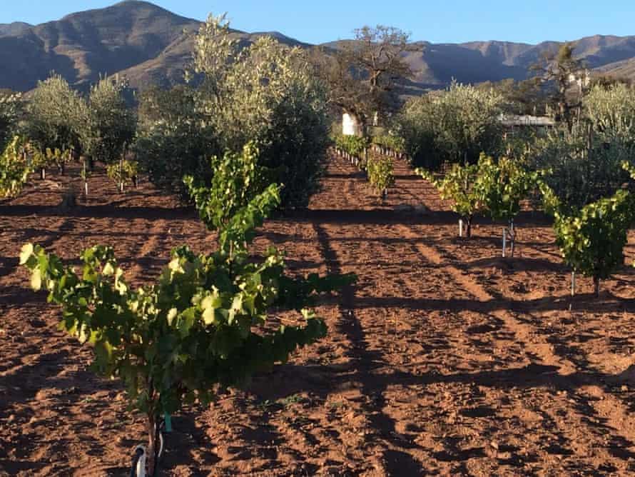 Condor's Hope dry-farmed vineyard in Cuyama Valley, California.