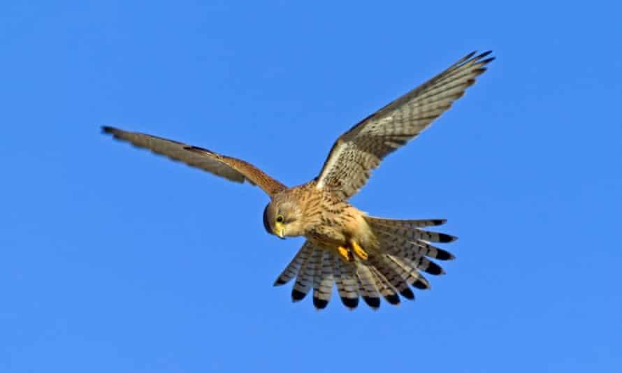 Female common kestrel hunting in Northumberland
