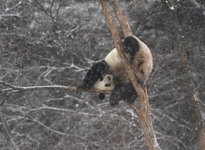 A giant panda plays in the the winter's first snow, Changchun, China