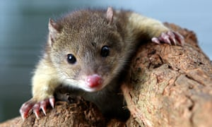 The Law Council of Australia has called for reforms to reverse the decline in native species, such as the tiger quoll.