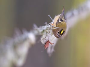 A goldcrest looking for insects in sheep's wool on a barbed wire fence, Warwickshire, UK