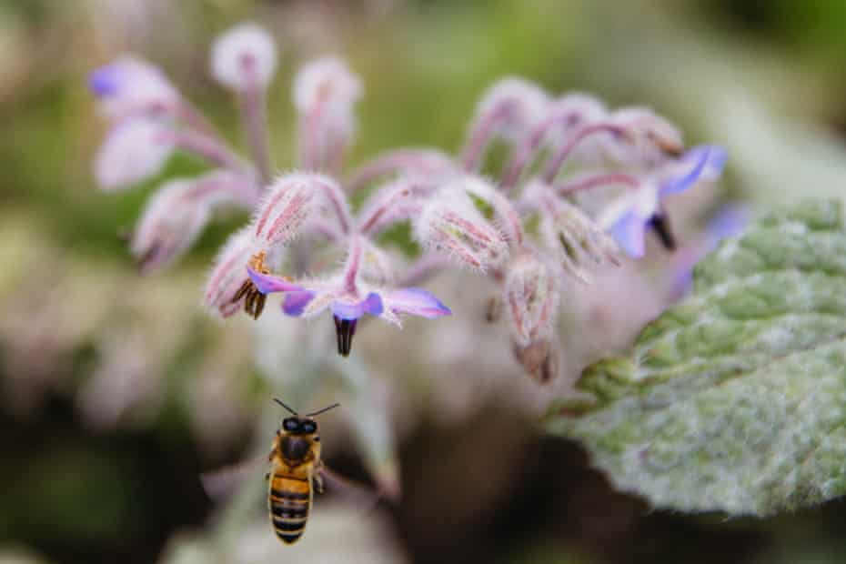 A bee enjoys the benefits of Bristol's urban flower project